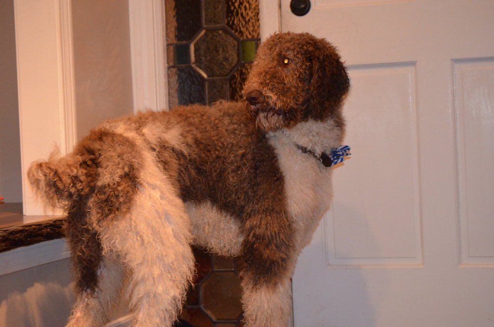 Oreo, 72 pound Poodle Dad (his head is taller than our front door knob)