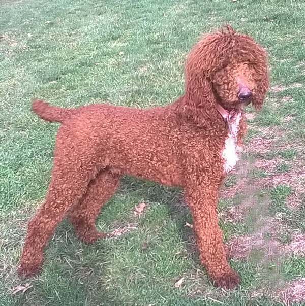 Red Poodle Dad