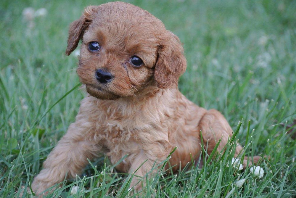 Hermione Adorable Cavapoo Puppy (2)-min.JPG