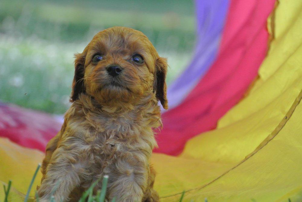 Hermione Adorable Cavapoo Puppy (3)-min.JPG