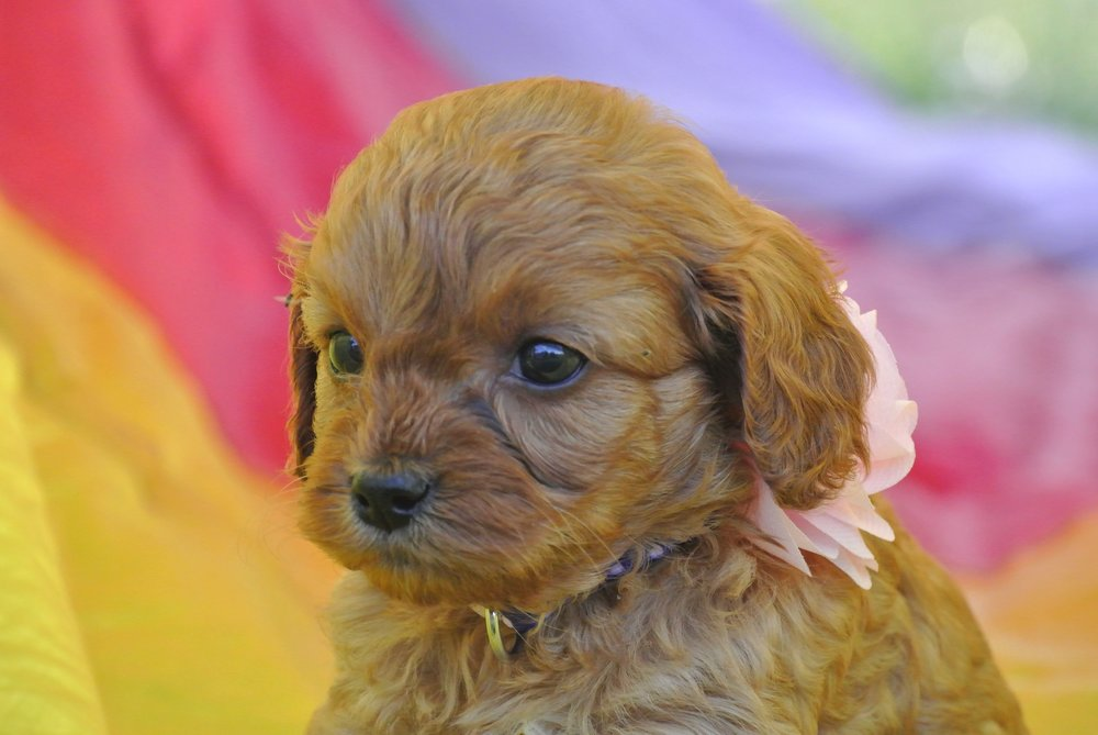 Hermione Adorable Cavapoo Puppy (7)-min.JPG