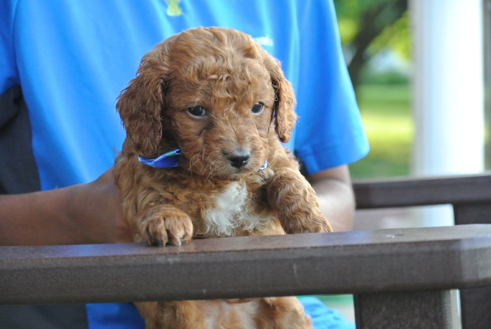 Harley Adorable Cavapoo Puppy (3)-min.JPG