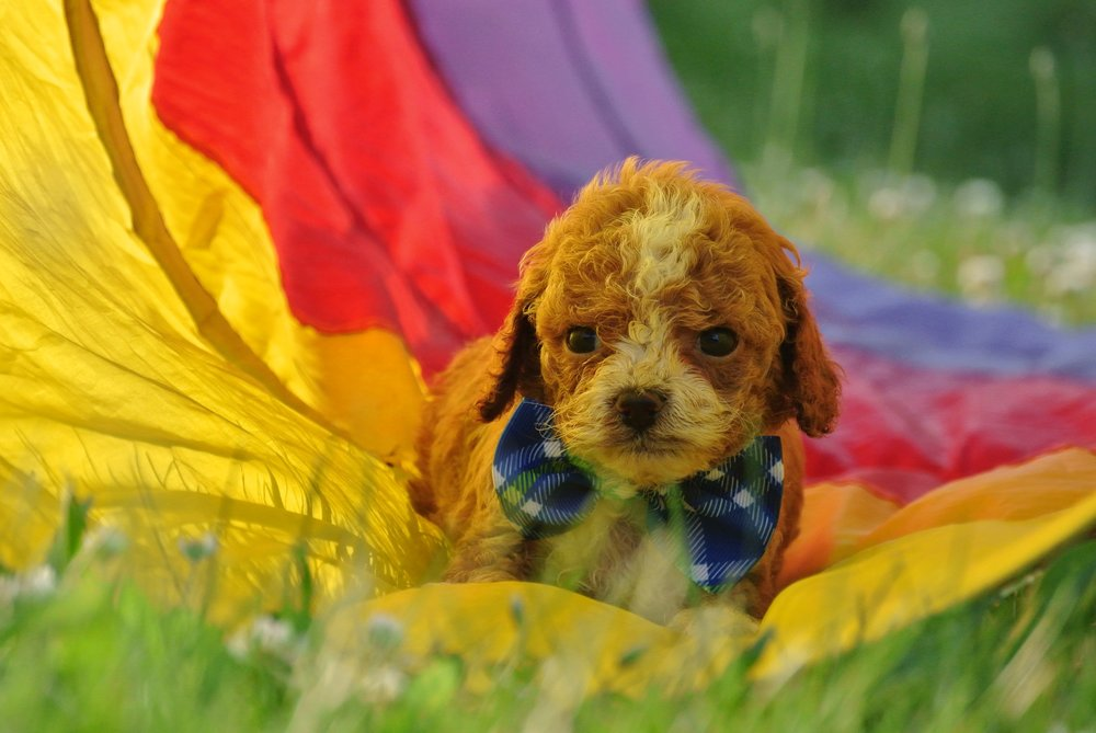 Harrison Adorable Cavapoo Puppy (3)-min.JPG