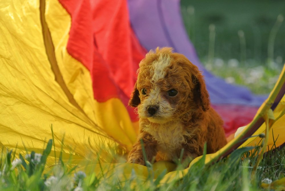 Harrison Adorable Cavapoo Puppy (4)-min.JPG