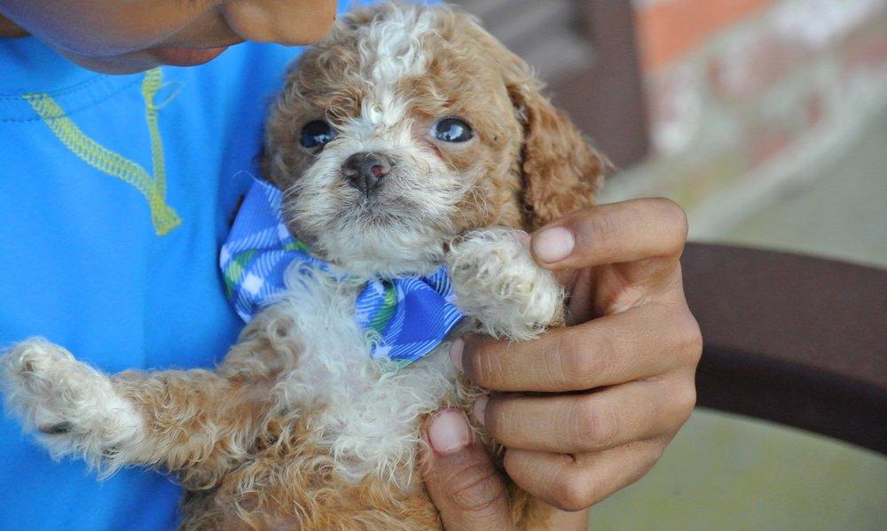 Harrison Adorable Cavapoo Puppy (1)-min.JPG