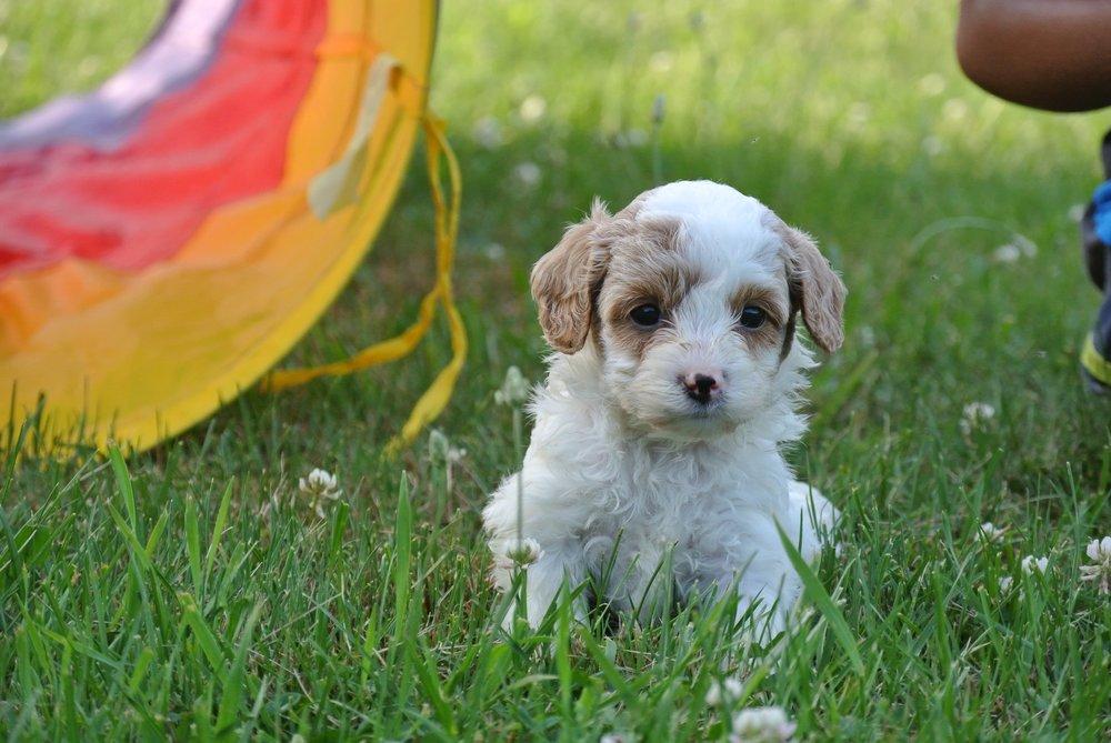 Hudson Adorable Cavapoo Puppy (1)-min.JPG