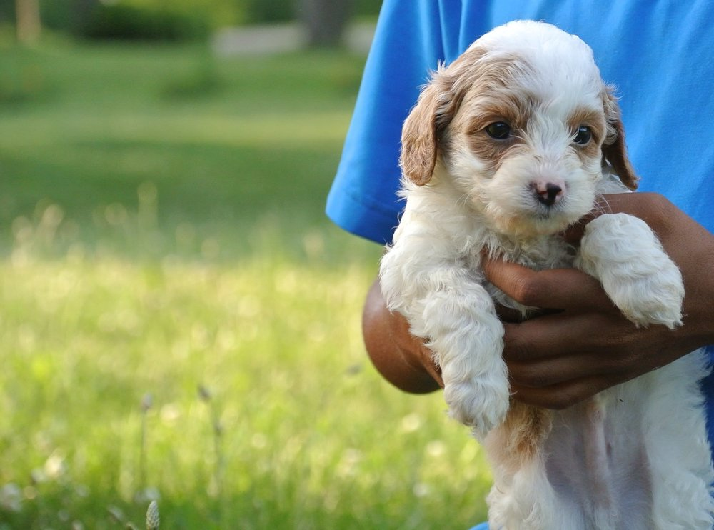 Hudson Adorable Cavapoo Puppy (5)-min.JPG