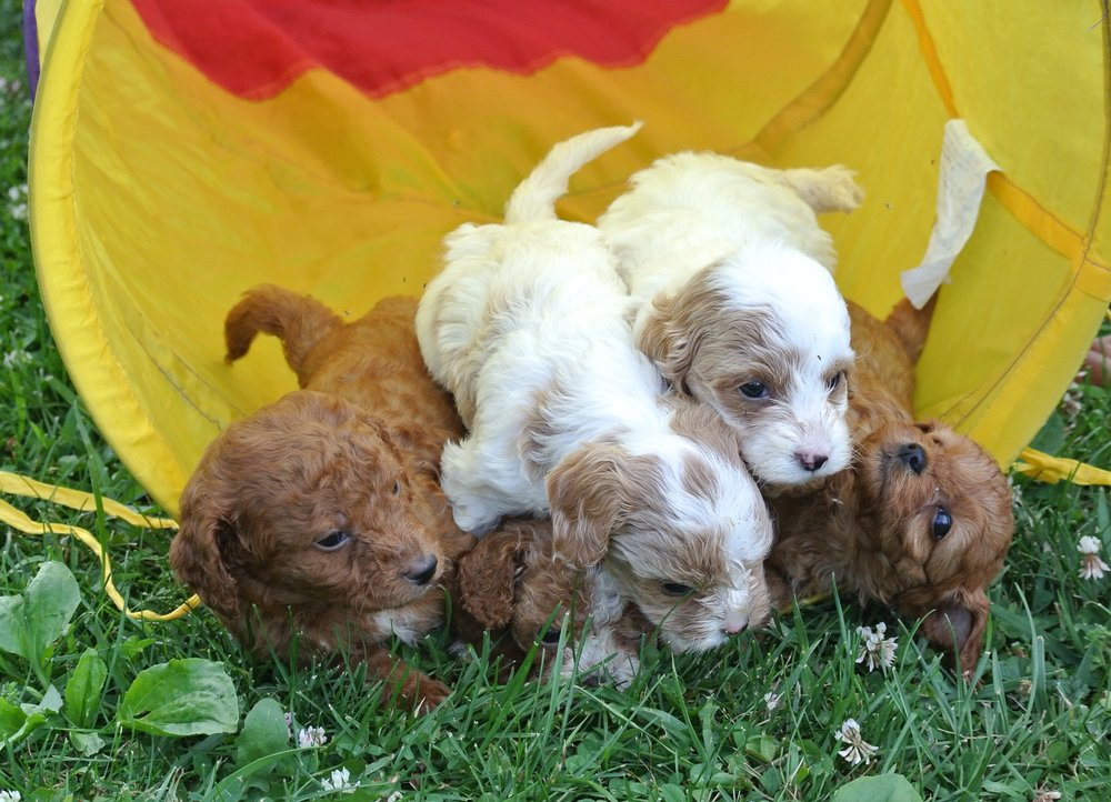 Adorable Cavapoo Litter (1)-min.JPG