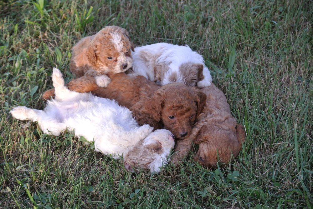 Adorable Cavapoo Litter (4)-min.JPG