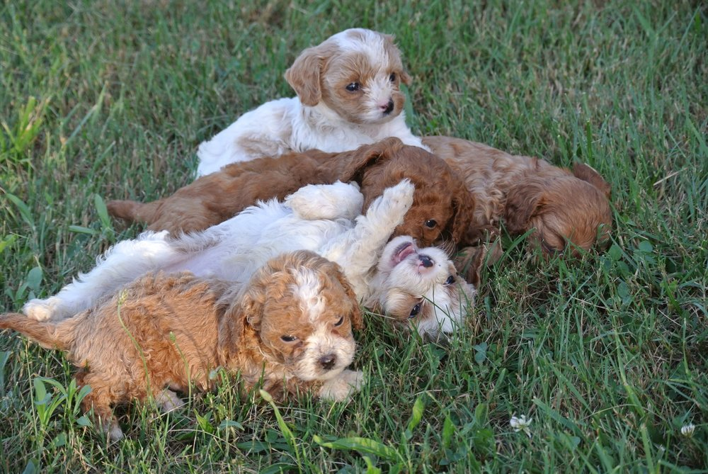 Adorable Cavapoo Litter (3)-min.JPG