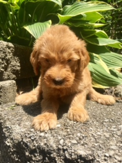 daisy-goldendoodle-puppy