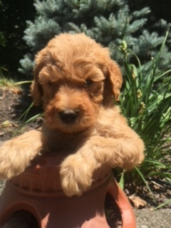 peach-goldendoodle-puppy