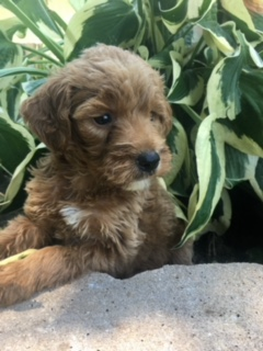 Rosalina-goldendoodle-puppy