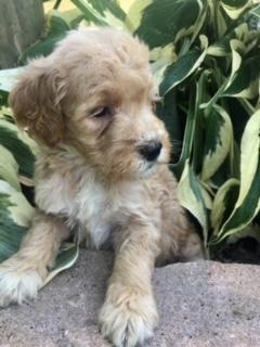 krystal-goldendoodle-puppy