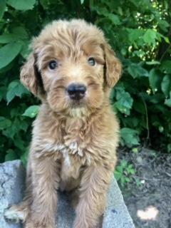 mario-goldendoodle-puppy