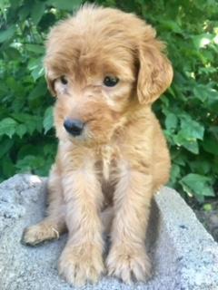 Luigi-goldendoodle-puppy
