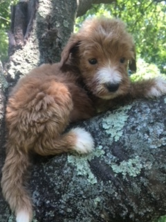 Link-goldendoodle-puppy