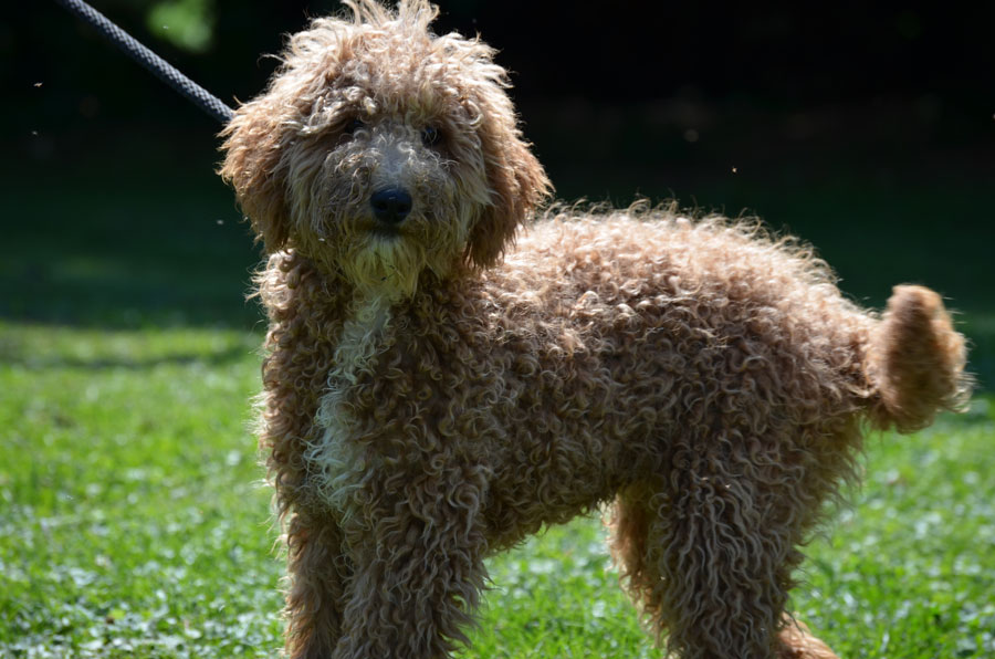 Joe, the 26 lb mini Goldendoodle dad