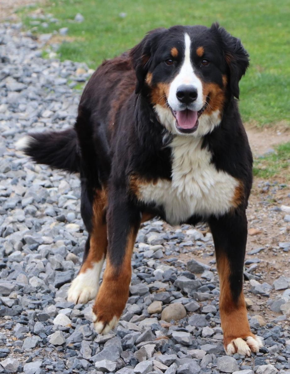 Stella, Bernese Mountain Dog mom