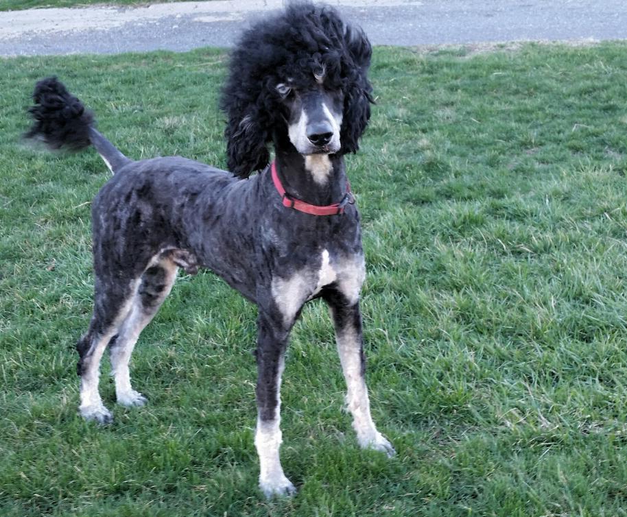 Cooper, Standard Poodle Dad