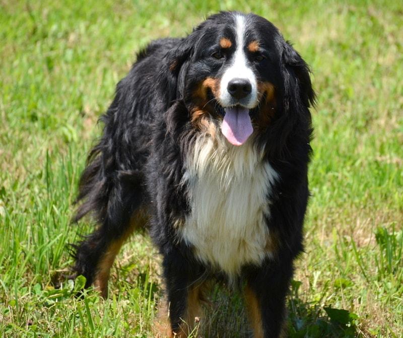 Brynn, the Bernese Mountain Dog mom