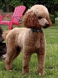 Sammy, the mini Poodle dad