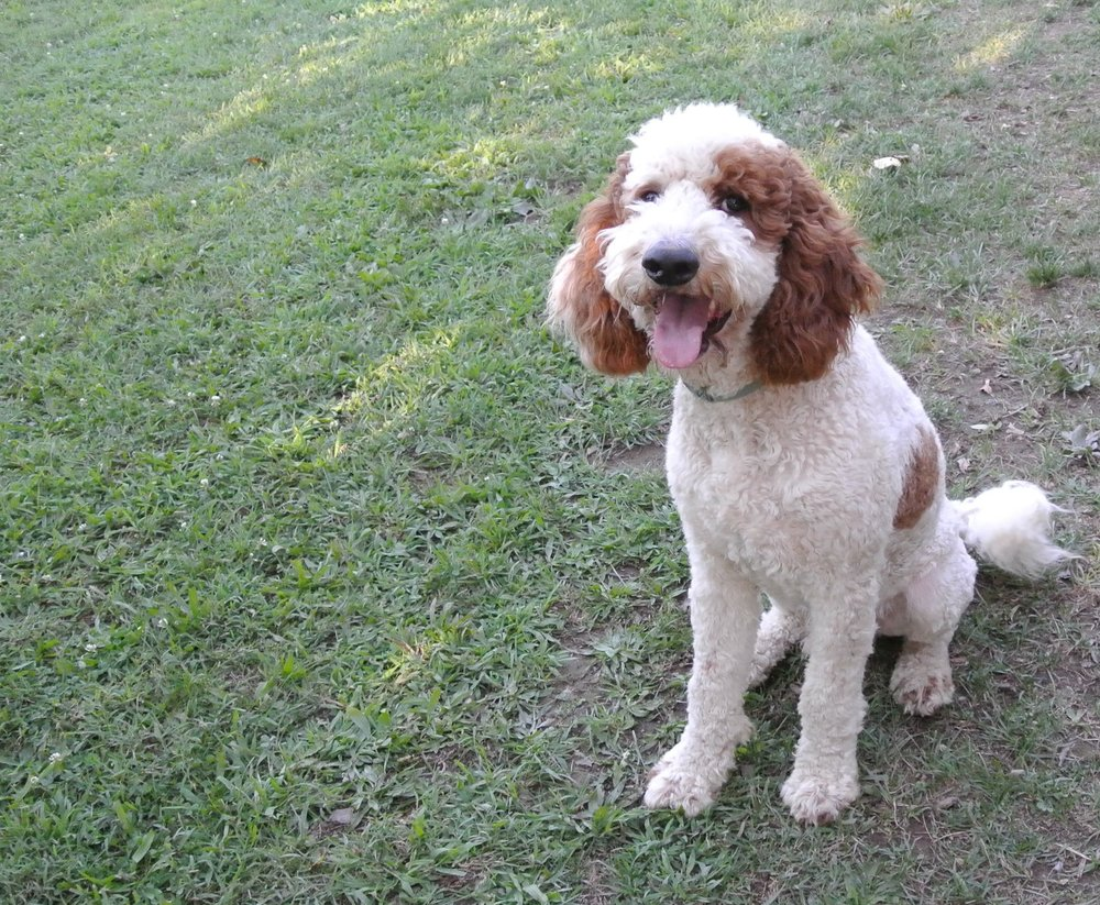 Yankee, our standard Poodle dad