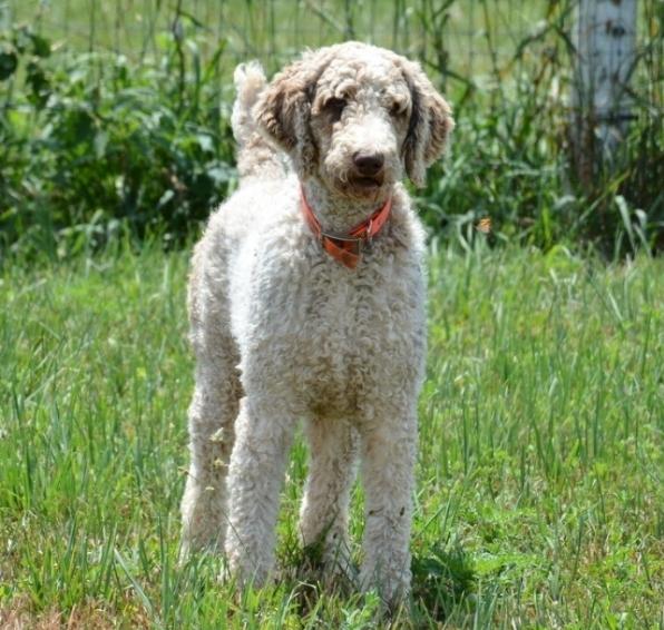 Duke, our standard Poodle dad