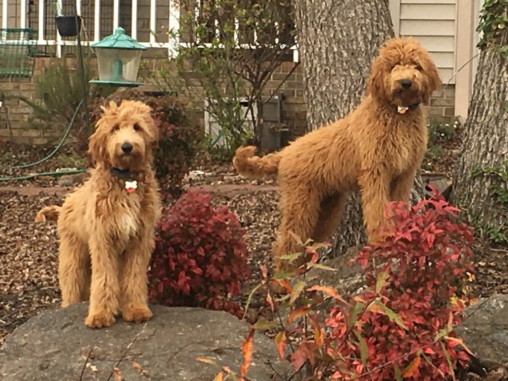 Chloe (on the left), the Labradoodle mom; with her sister Bailey