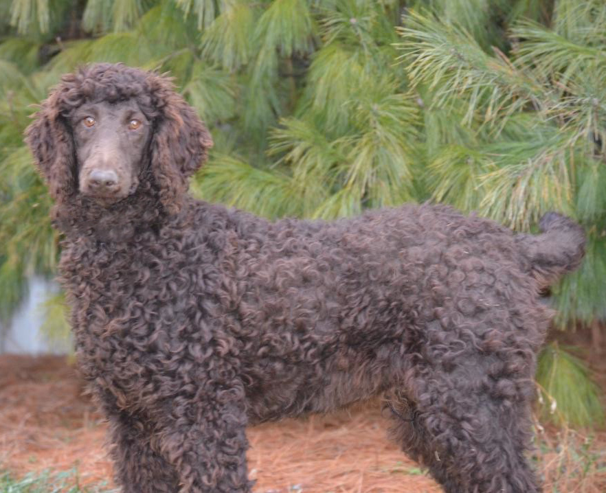 Charlie, the chocolate Poodle dad
