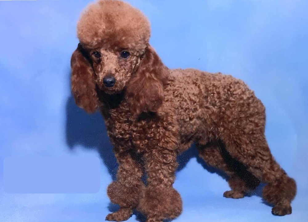 Snickers, the mini Poodle dad