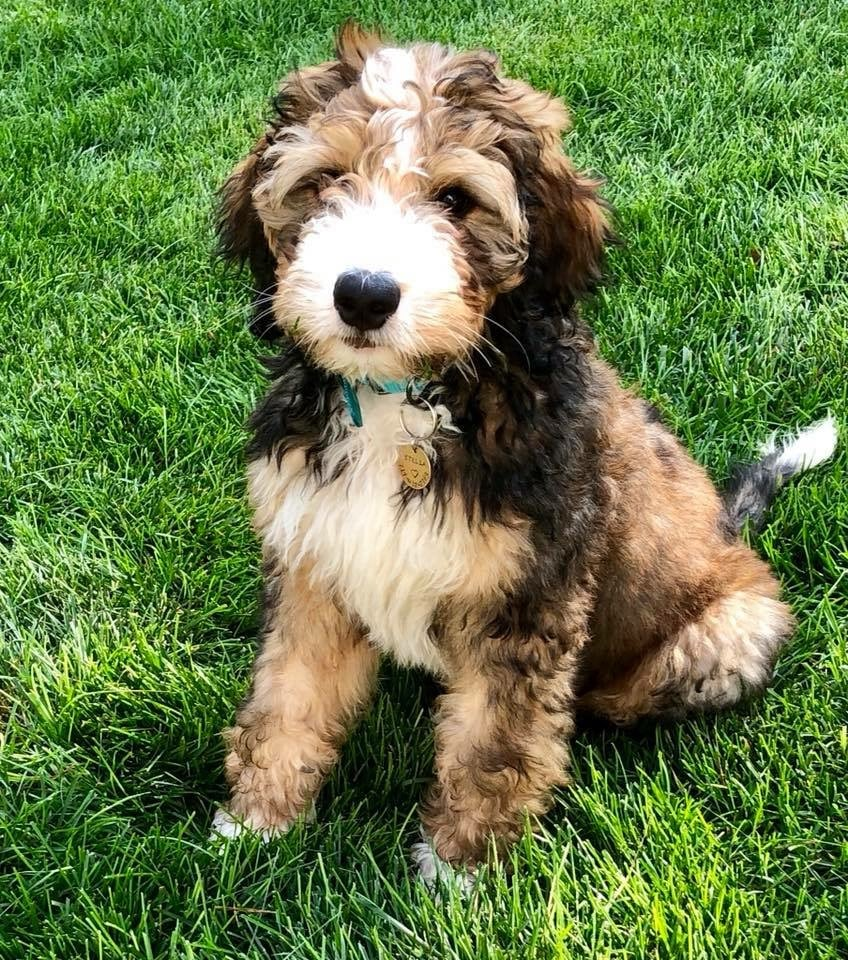cute bernedoodle weekly contest