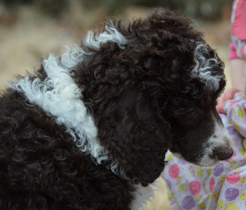 Mocha, Standard Poodle Mom