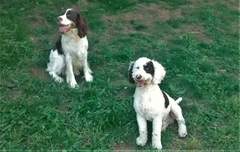 Piper (English Springer Spaniel mom) and Jack (mini Poodle dad)