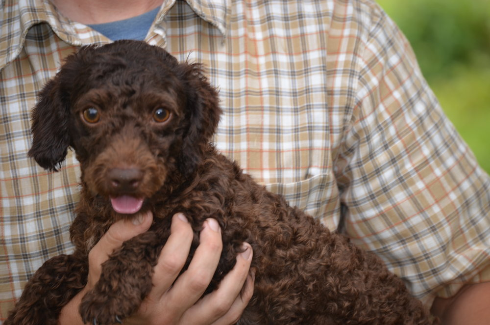 Chocolate Mini Poodle Dad