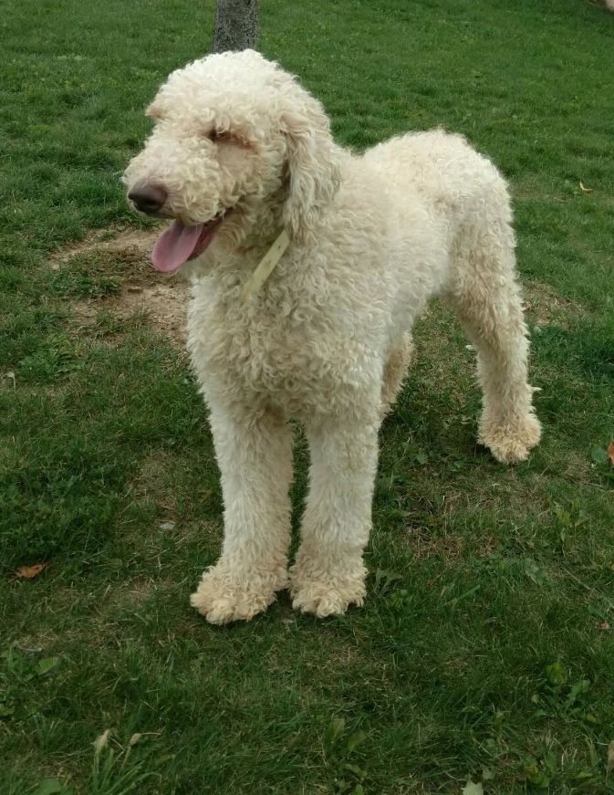 Cooper, the standard Poodle dad