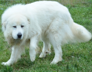 Shelby, the Great Pyrenees Mom (85 pounds)