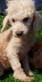 Diana, 11-pound Apricot mini Poodle Mom