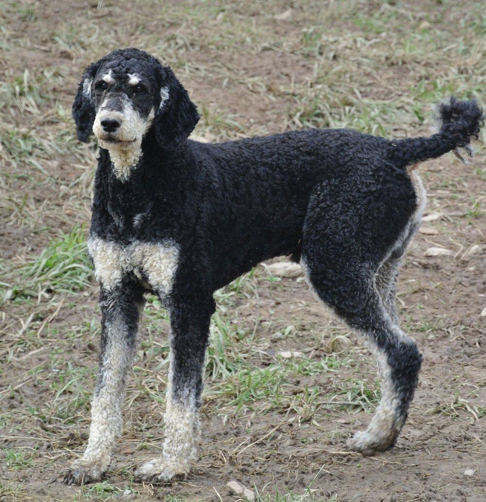 Charlie, 60 pound standard Poodle dad