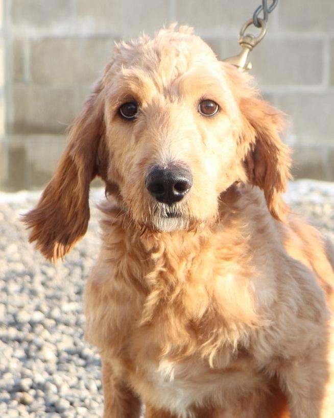 Bella, the Goldendoodle mom