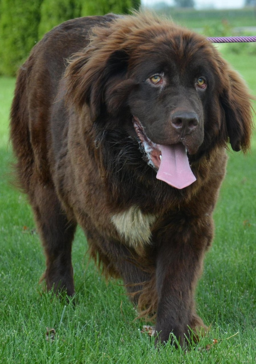 Kate, 125 pound Newfoundland Mom