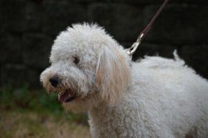 Tucker, 31 lb English Cream Mini Goldendoodle Dad
