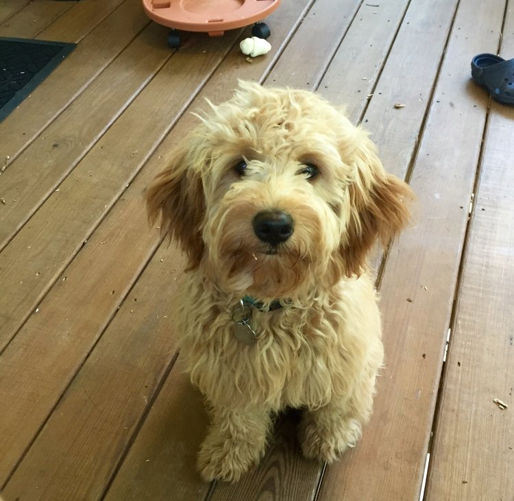 mini Goldendoodle mom