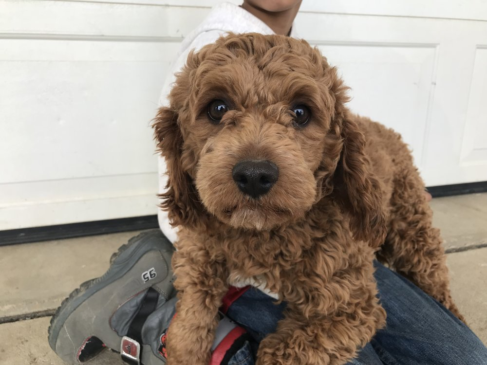 Woofy, 20 pound Red Cavapoo Dad