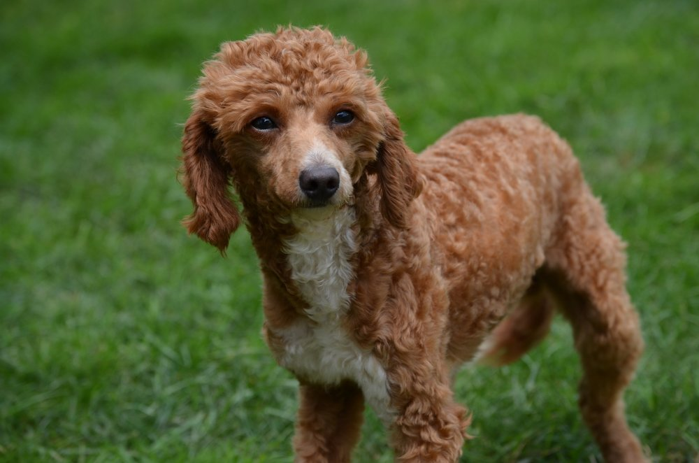 Randy, Red Mini Poodle Dad