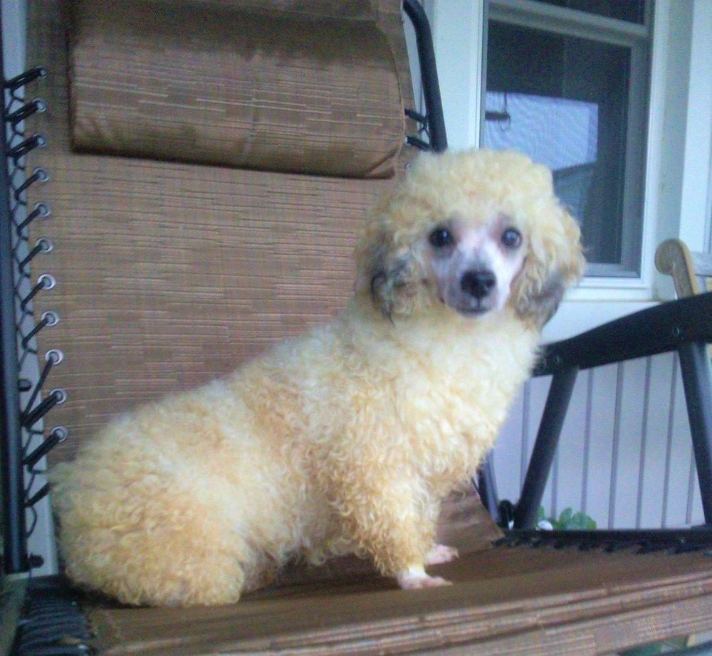 9 pound mini Poodle Dad