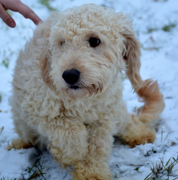 Lucy, the Goldendoodle mom