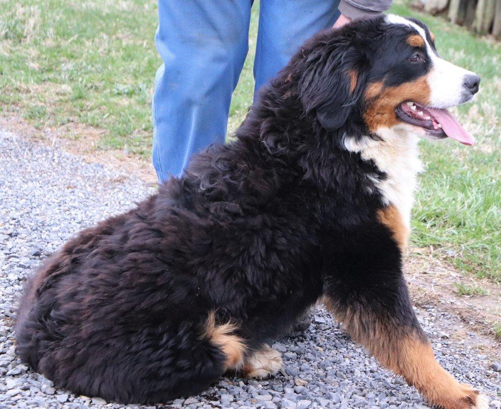 Pax, Bernese Mountain Dad, 81 pounds