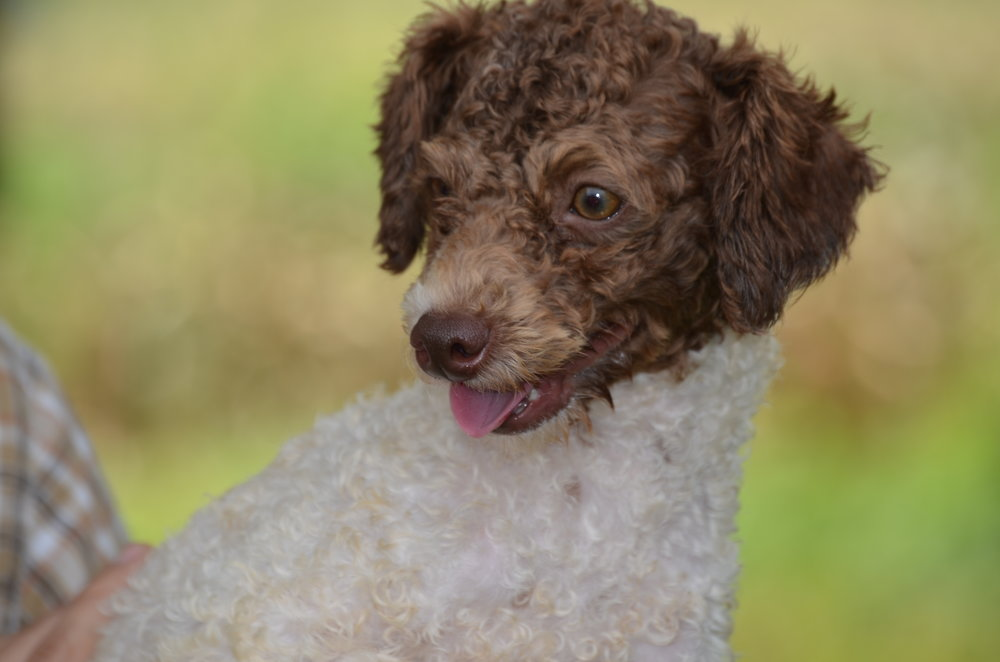 Rover, mini Poodle dad