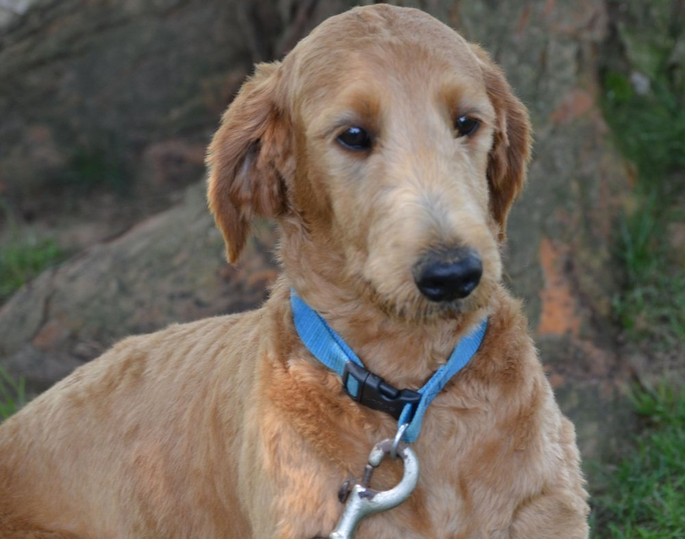 Candy, Goldendoodle Mom